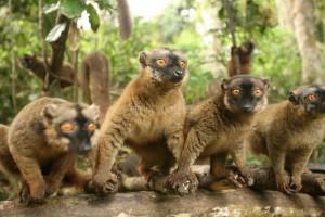 Maki de Mayotte ou Komba en mahorais. LŽmurien (Lemur fulvus mayottensis).Plusieurs dizaines de milliers de makis peu farouches peuplent les forts de Mayotte. Comores. OcŽan Indien Maki. Mayotte island. Comores archipelago. Indian oceanLa star des forets de Mayotte est le maki ou Komba en mahorais. Ce lemurien (Eulemur fulvus mayottensis) a sans doute ete introduit par lhomme depuis Madagascar.  Animal social, il vit en groupe dune dizaine dindividus et se nourrit de fleurs, feuilles et fruits des arbres et lianes