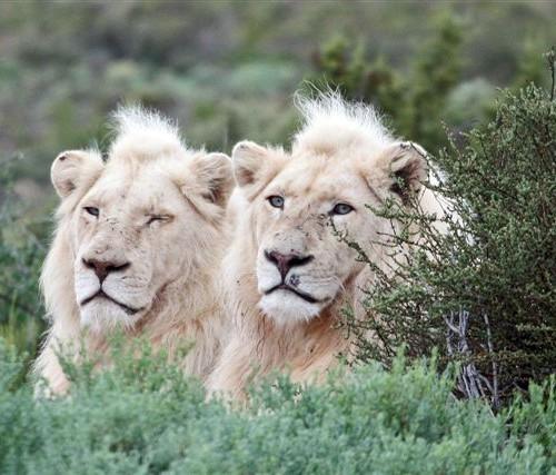 leone ianco sanbona